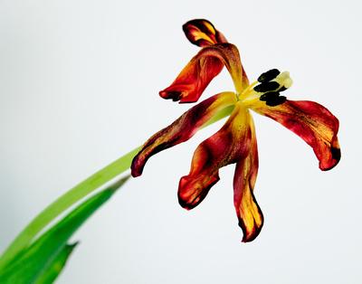 Dying Tulip Botanical (1)