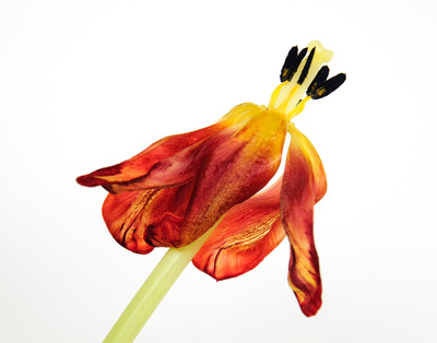 Dying Tulip Botanical (4)