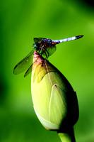 Dragonfly on Lotus Bud
