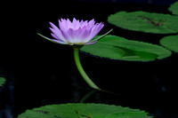 Longwood Gardens Water Lily
