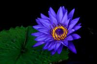 Longwood Water Lily