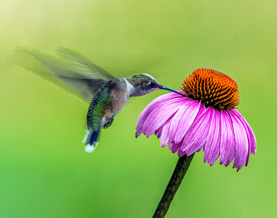 Hummingbird and Cone FLower