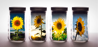 Canned Sunflowers
